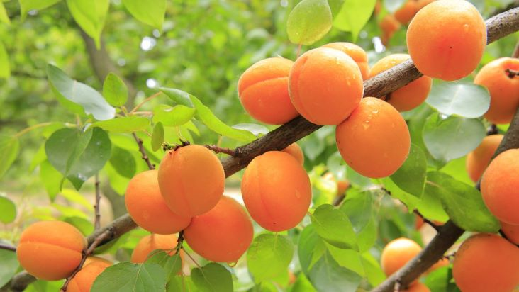 spring apricots growing on a tree in the sun
